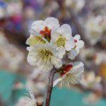 japanese-apricot